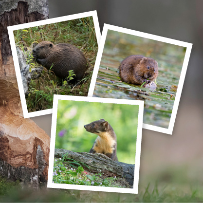Beaver, water vole and pine marten
